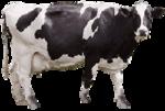 Tabela do Jogo do Bicho - Vaca